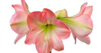 How to Care for an Amaryllis Bulb After it Blooms